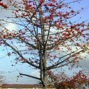 בומבקס הודי- עצי נוי   הדר נוי משתלות