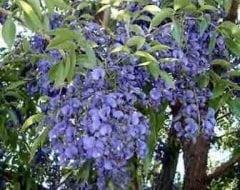 בלוסתנוס נאה - עצי נוי | הדר נוי משתלות