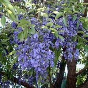 בלוסתנוס נאה - עצי נוי   הדר נוי משתלות