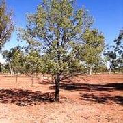 קליטריס מיובל - עצי נוי   הדר נוי משתלות