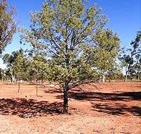 קליטריס מיובל - עצי נוי | הדר נוי משתלות