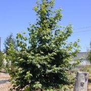 דולב מזרחי - עצי נוי | הדר נוי משתלות