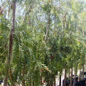 קליסטמון (קינגס פארק) - עצי נוי | הדר נוי משתלות