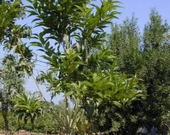 קתרוסית מרובעת - עצי נוי | הדר נוי משתלות