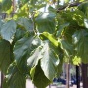 הובניה מתוקה - עצי נוי | הדר נוי משתלות