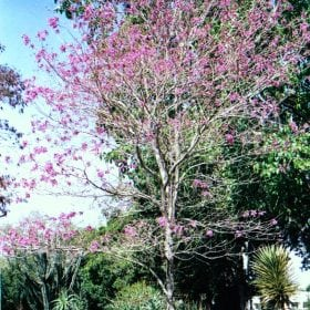 טבבויה איפה - עצי נוי | הדר נוי משתלות