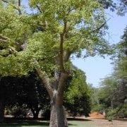 כוריזיה בקבוקית - עצי נוי | הדר נוי משתלות