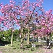 כוריזיה הדורה - עצי נוי | הדר נוי משתלות