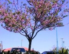 כליל החורש - עצי נוי | הדר נוי משתלות