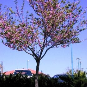כליל החורש - עצי נוי   הדר נוי משתלות