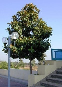 מגנוליה גדולת-פרחים - עצי נוי | הדר נוי משתלות