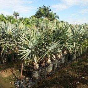 דקל בסמריקה - עצי נוי | הדר נוי משתלות