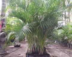 דקל אריקה - עצי נוי | הדר נוי משתלות