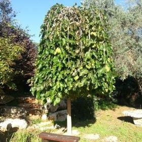 תות בכות - עצי נוי | הדר נוי משתלות