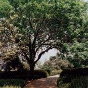 מילה אמריקנית - עצי נוי | הדר נוי משתלות