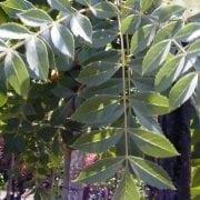 מילה סורית - עצי נוי | הדר נוי משתלות