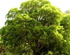 מיש דרומי - עצי נוי | הדר נוי משתלות