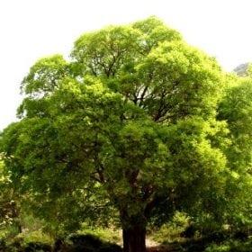 מיש דרומי - עצי נוי   הדר נוי משתלות