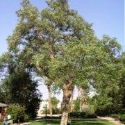 מכנף נאה - עצי נוי | הדר נוי משתלות