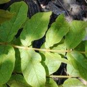 מתחלית פעמונית (ספטודאה) - עצי נוי | הדר נוי משתלות