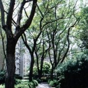 סיגלון חד-עלים (ג'קרנדה) - עצי נוי   הדר נוי משתלות