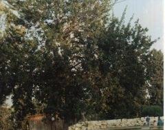 סיסם הודי (דלברגיה) - עצי נוי | הדר נוי משתלות
