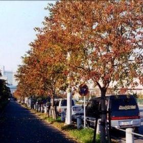 ספיון השעווה - עצי נוי | הדר נוי משתלות