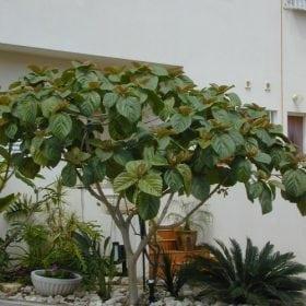 פיקוס אוזני (פיקוס רוקסבורגי) - עצי נוי | הדר נוי משתלות