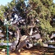 פיקוס השקמה (אפריקני) - עצי נוי | הדר נוי משתלות