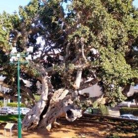 פיקוס השקמה (אפריקני) - עצי נוי   הדר נוי משתלות