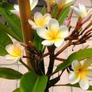 פלומריה ריחנית (פיטנה) - עצי נוי | הדר נוי משתלות