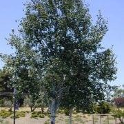 צפצפה מכסיפה - עצי נוי | הדר נוי משתלות