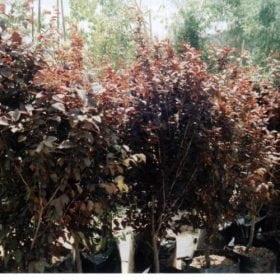 שזיף דובדבני - עצי נוי | הדר נוי משתלות