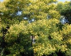 שלטית מסופקת ( פלטופורום ) - עצי נוי | הדר נוי משתלות