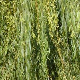 ערבה בבל (ערבה בוכייה) - עצי נוי | הדר נוי משתלות