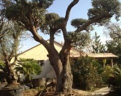 פנטסטי עצי זית למכירה | הדר נוי משתלות KA-96