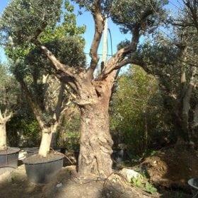 עץ זית מעוצב - עצי נוי | הדר נוי משתלות