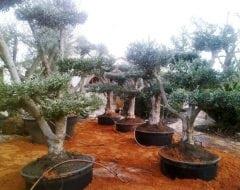 עץ זית בונסאי - עצי נוי | הדר נוי משתלות