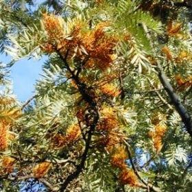גרוויליאה חסונה - עצי נוי | הדר נוי משתלות