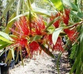 קליסטמון (קינגס פארק) - עצי נוי   הדר נוי משתלות