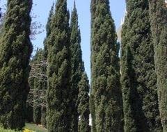 ברוש מצוי צריפי - עצי נוי | הדר נוי משתלות