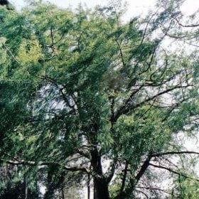 תקסודיום דו-תורי - עצי נוי | הדר נוי משתלות