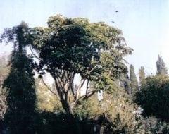 שפלרה מקרינה - עצי נוי | הדר נוי משתלות