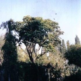 שפלרה מקרינה - עצי נוי   הדר נוי משתלות