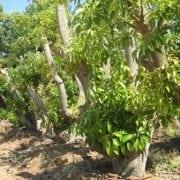 עץ אבוקדו - עצי פרי | הדר נוי משתלות