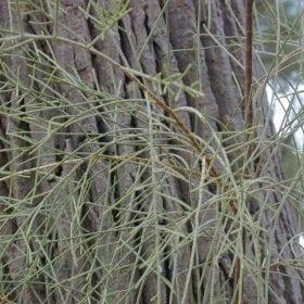 אשל הפרקים - עצי נוי   הדר נוי משתלות