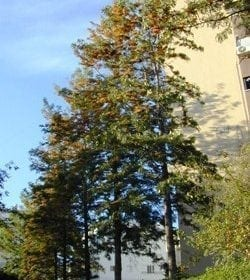 גרוויליאה חסונה - עצי נוי   הדר נוי משתלות