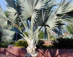 בסמרקיה אצילה - עצי נוי | הדר נוי משתלות