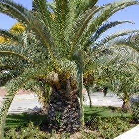 תמר קנרי (פניקס קנרי) - עצי נוי | הדר נוי משתלות