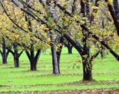 עץ פקאן- עצי פרי | הדר נוי משתלות